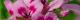 geraniumegypte